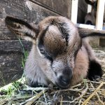 Cabri-chevreau-bouc-Bambi-Liberty